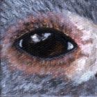 Koala Eye Wildlife Collectible Pin