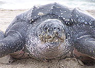 Leatherback Turtle - Photo credit: USFWS