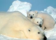 Polar bear female and cubs. [Photo Credit: Steven Amstrup, USGS]
