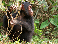Saving Wildlife Together - Eye Help Animals helps to save the Chimpanzeee