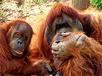 Saving Wildlife Together - Eye Help Animals helps to save the Orangutan