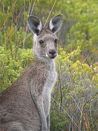 Saving Wildlife Together - Eye Help Animals helps to save the Western Grey Kangaroo