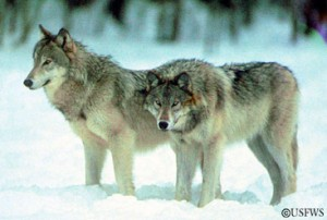 gray_wolf_picture