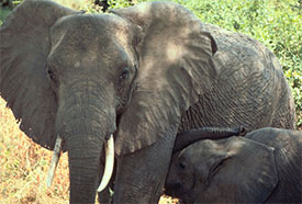 African Elephant - Photo Credit: USFWS